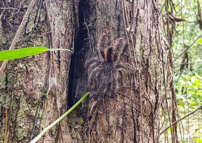 Beautiful-tarantula-amazon-tree