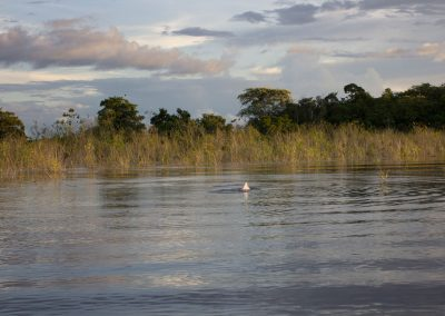 Pink-dolphins-playing-on-the-surface-of-the-Amazon-river-1