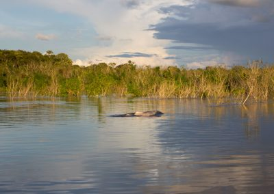 Pink-dolphins-playing-on-the-surface-of-the-Amazon-river