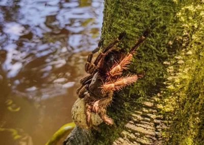 Tree-Tarantula-in-the-Amazon-Rainforest