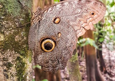 beautiful-butterfly-in-Amazon-tree