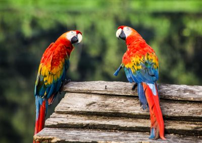 birds-of-many-colors-in-small-reserve-in-the-amazon