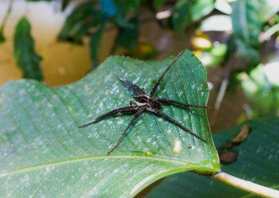 gigante araña del amazonas-amazonjungletrips.com.co