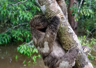 lazy-bear-unique-in-the-Amazon-rainforest